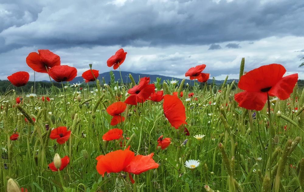 Red Poppy Fields of Umbria, Italy